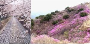 Kota Jinhae Penuh Pesona Aneka Bunga yang Berwarna-warni